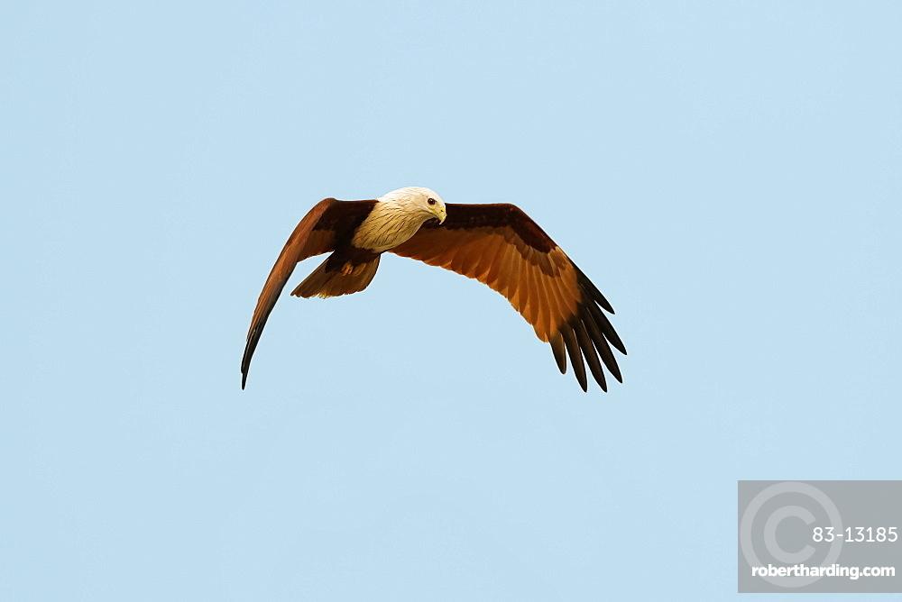 Brahminy kite (Haliastur indus), common here due to fish scraps, Marari Beach, Mararikulam, Alappuzha (Alleppey), Kerala, India, Asia