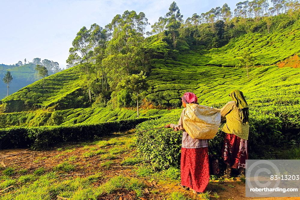 Female tea workers in the morning at Lakshmi tea estate in the Kannan Devan Hills west of Munnar, Lakshmi, Munnar, Kerala, India, Asia