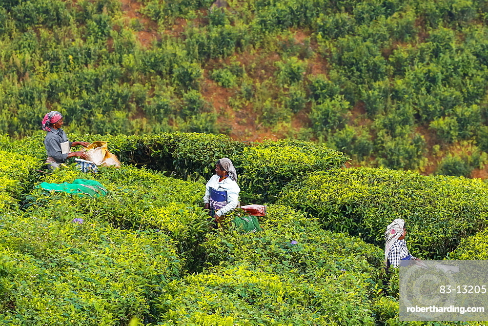 Female tea workers in the morning at Lakshmi tea estate in the Kannan Devan Hills west of Munnar, Lakshmi, Munnar, Kerala, India, Asia