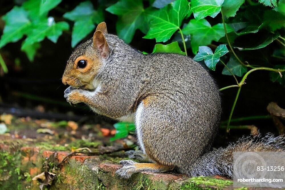 Eastern grey squirrel (Sciurus carolinensis) in garden, an invasive species from North America, Henley-on-Thames, Oxfordshire, England, United Kingdom, Europe