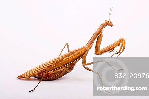 Praying Mantis (Mantis religiosa)