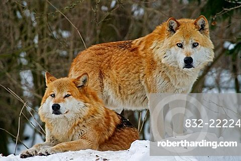 European wolfs (Canis lupus lupus) in winter
