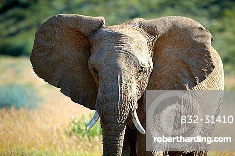 African Forest Elephant (Loxodonta cyclotis), Damaraland, Namibia, Africa