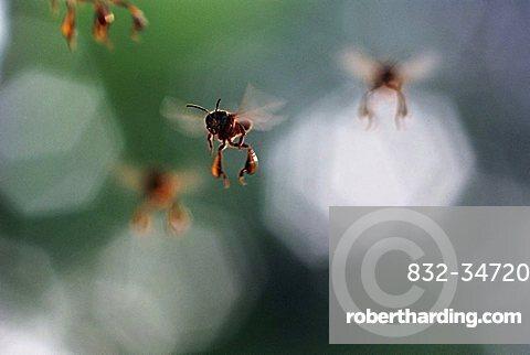 Flying bees, Amazon Basin, Brazil