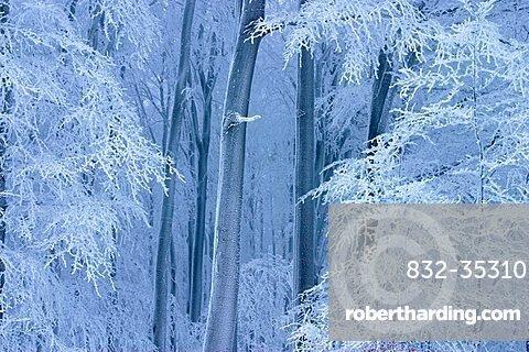 Winter beech forest in Planavy, Bile Karpaty, White Carpathian Mountains, protected landscape area, Moravia, Czech Republic, Europe