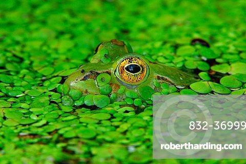 Edible frog (Rana esculenta) camouflaged in duckweed