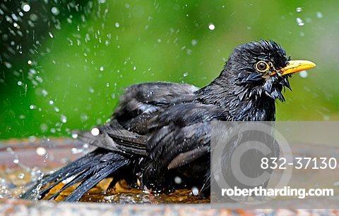 Male Blackbird (Turdus merula) bathing