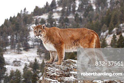 Cougar (Felis concolor), on a rock, Montana, USA