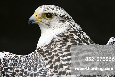 Gyrfalcon or Gyr Falcon (Falco rusticolus) looking back over its shoulder
