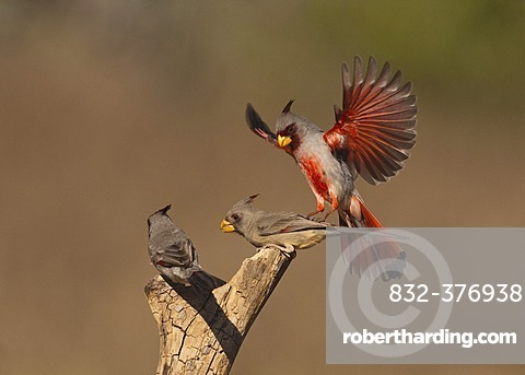 Pyrrhuloxia or Desert Cardinal (Cardinalis sinuatus), male and female fighting, Starr County, Rio Grande Valley, South Texas, USA