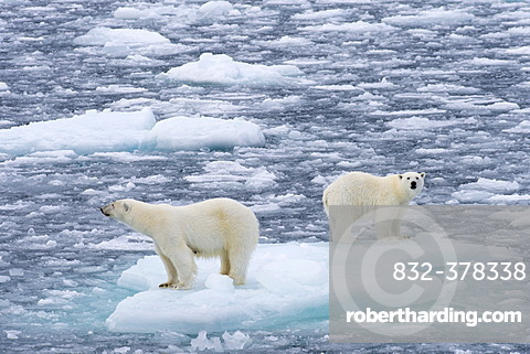 Polar Bears (Ursus maritimus), female and juvenile on an ice floe in the pack ice, Spitsbergen Island, Svalbard Archipeligo, Svalbard and Jan Mayen, Norway, Europe
