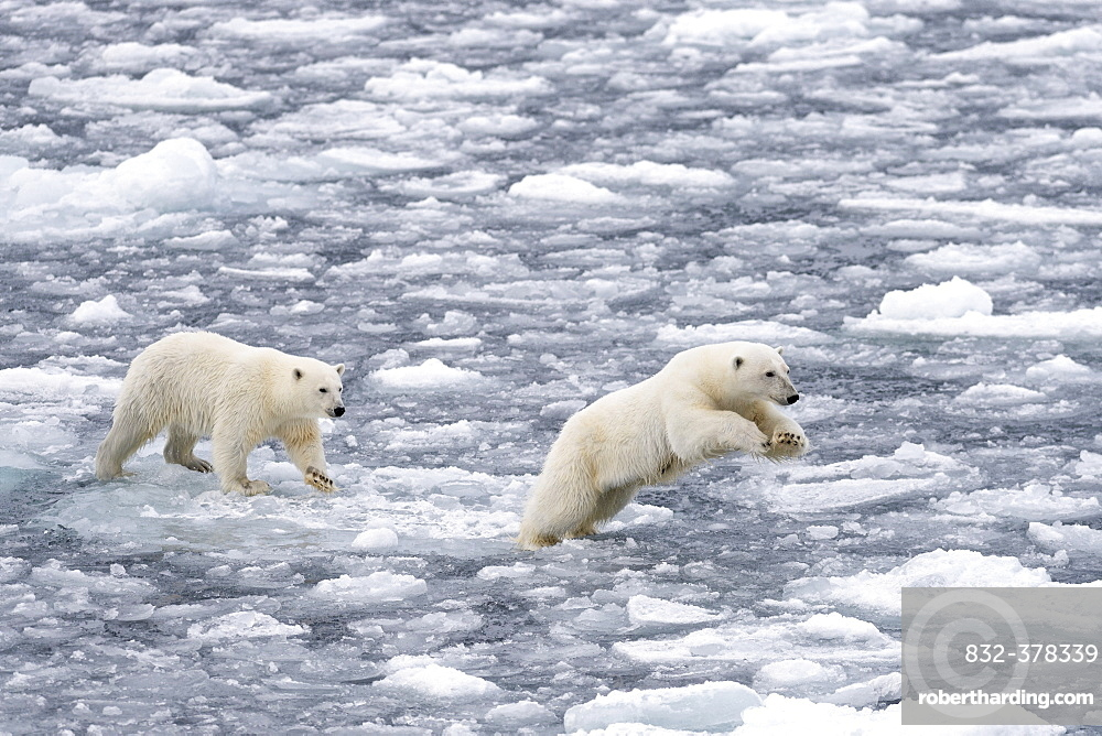 Polar Bears (Ursus maritimus), female and juvenile moving through the pack ice, Spitsbergen Island, Svalbard Archipeligo, Svalbard and Jan Mayen, Norway, Europe