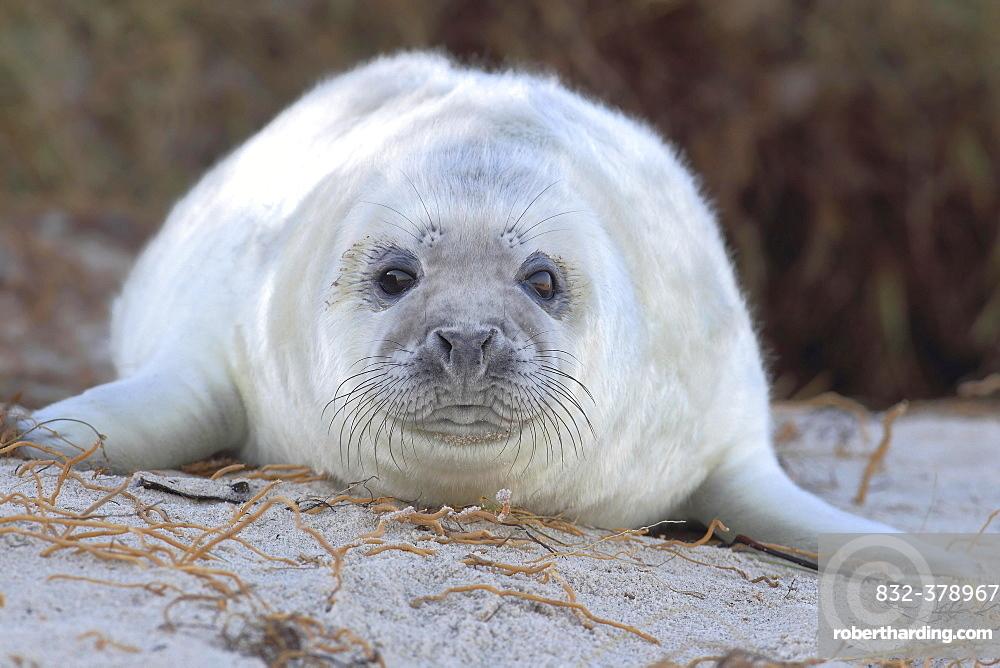 Grey Seal (Halichoerus grypus), pup on beach, portrait, Helgoland, North Sea, Germany, Europe