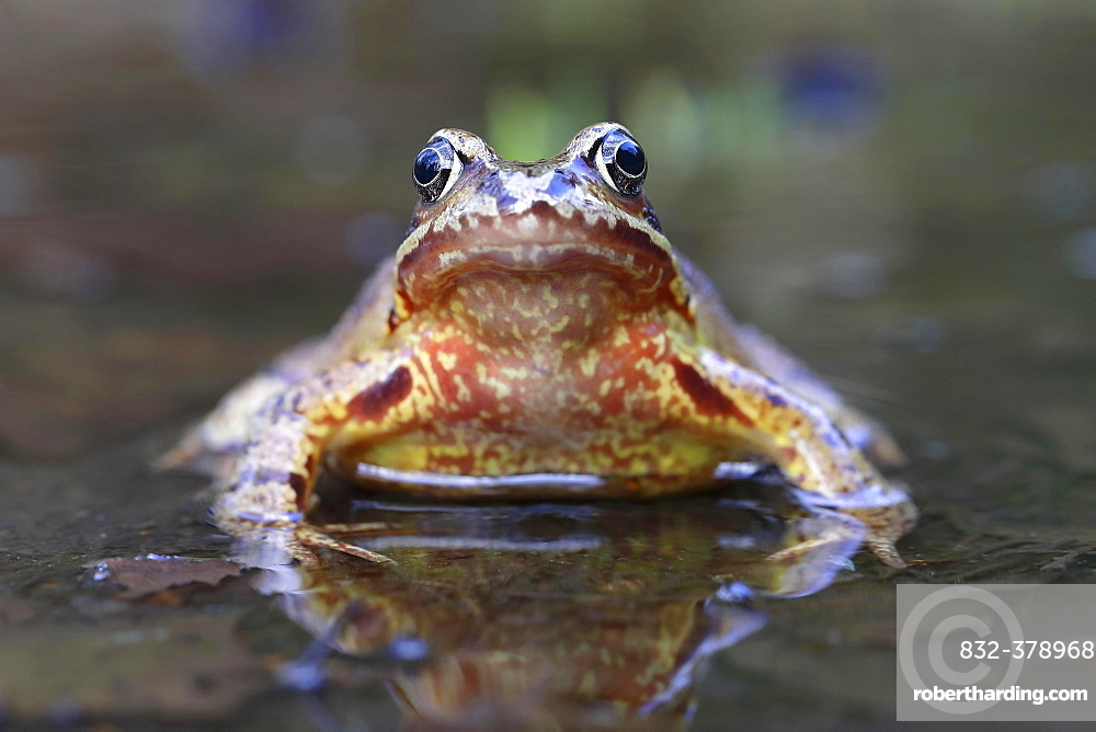 European common frog (Rana temporaria) sitting in shallow water, Malscheid Nature Reserve, Siegerland, North Rhine-Westphalia, Germany, Europe