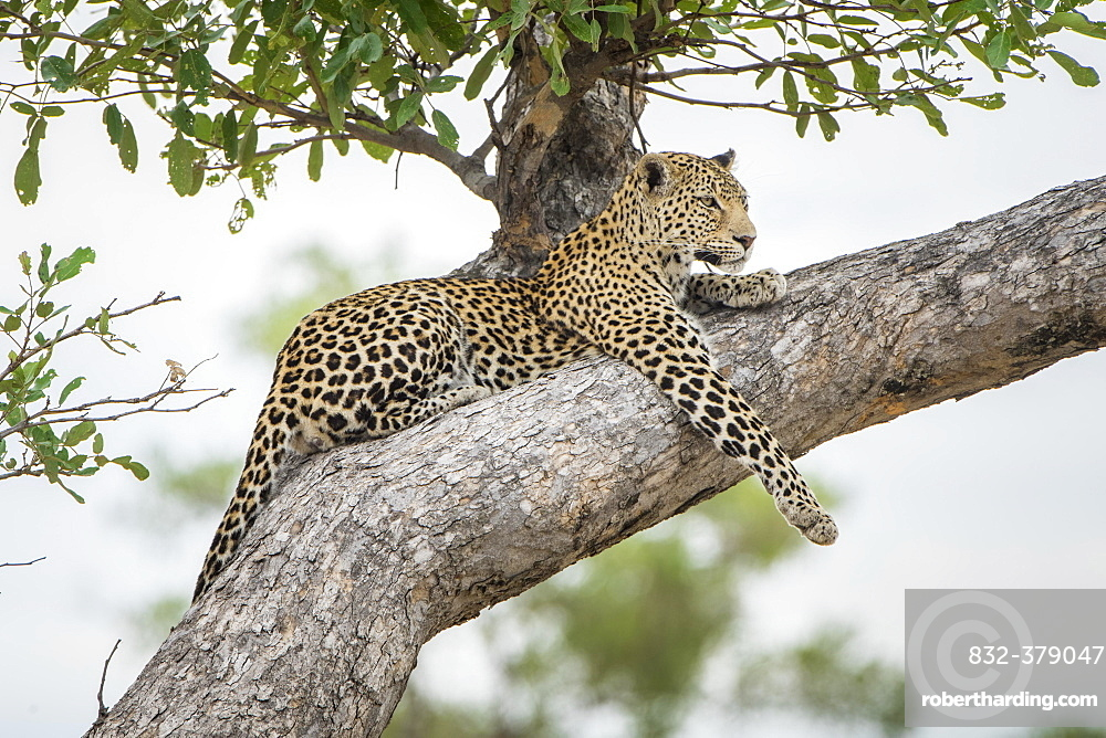 Leopard (Panthera pardus), lying on tree on the lookout, Peter's Pan, Savuti, Chobe National Park, Chobe District, Botswana, Africa