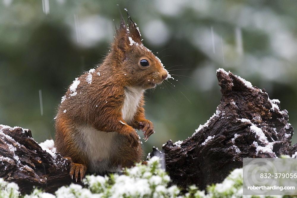 Eurasian red squirrel (Sciurus vulgaris) in case of snowfall, Lower Saxony, Germany, Europe
