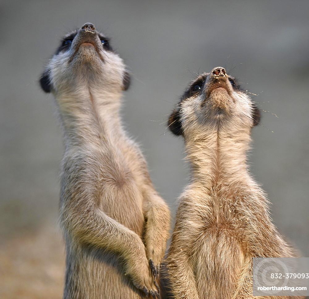 Meerkats (Suricata suricatta), kitten, looking up, captive