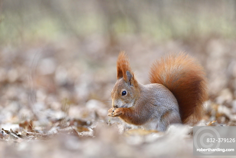 Eurasian red squirrel (Sciurus vulgaris) eating in autumn leaves, Saxony, Germany, Europe
