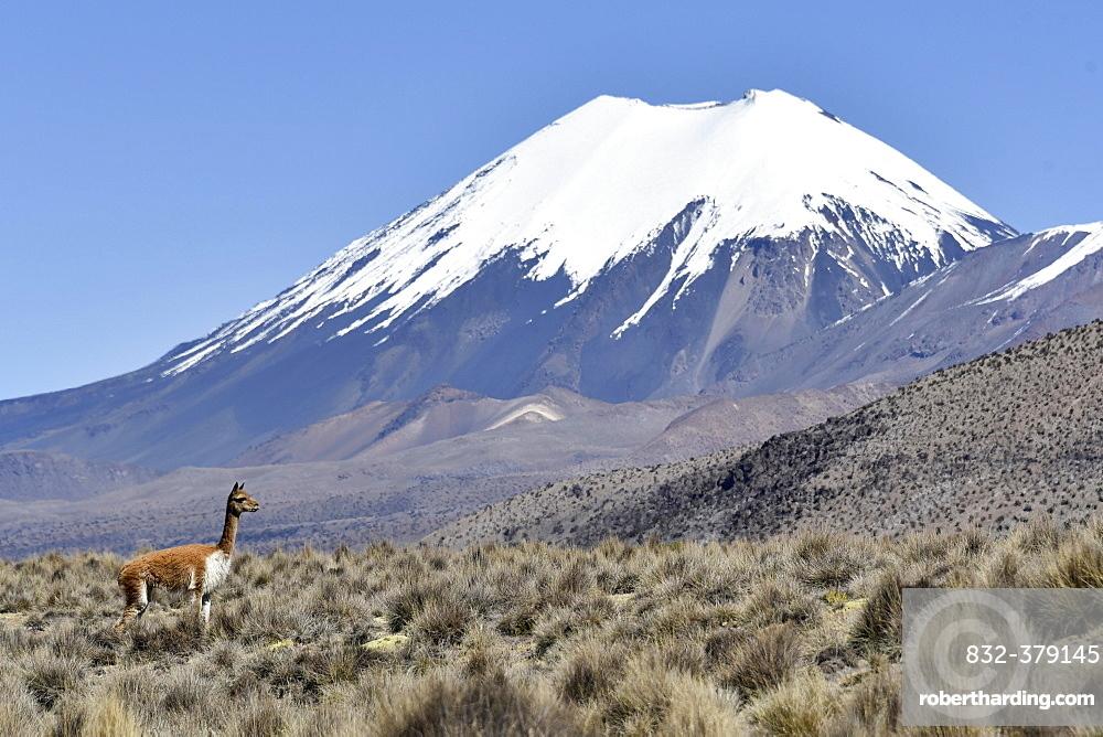 Snow covered volcanoes Pomerape and Parinacota with Guanaco (Lama guanicoe), Sajama National Park, Bolivian Bolivia border Chile