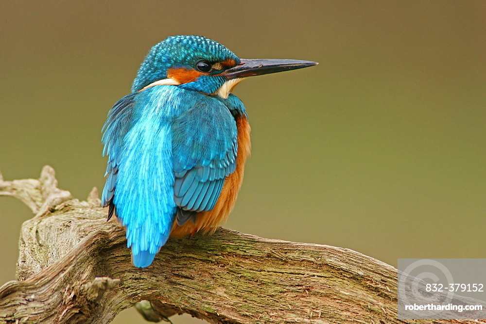 Kingfisher (Alcedo atthis), Hesse, Germany, Europe