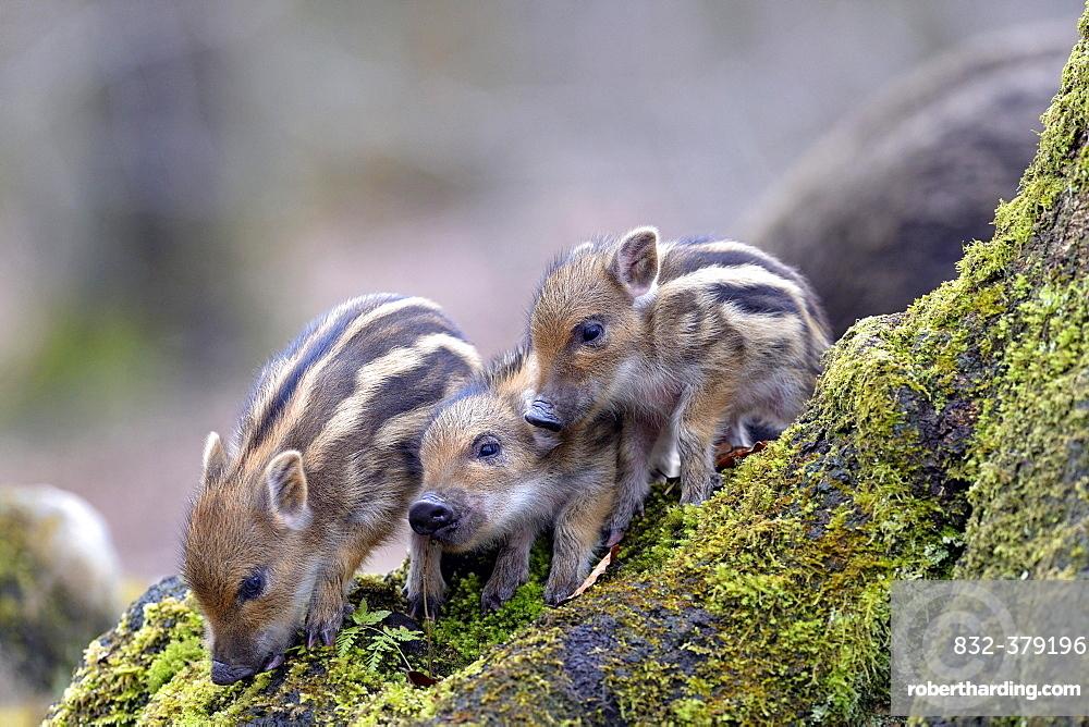 Wild boars (Sus scrofa), shoats on a mossy tree trunk, captive, North Rhine-Westphalia, Germany, Europe