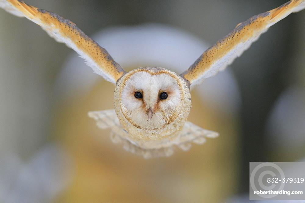 Common barn owl (Tyto alba), in flight, winter, Moravia, Czech Republic, Europe