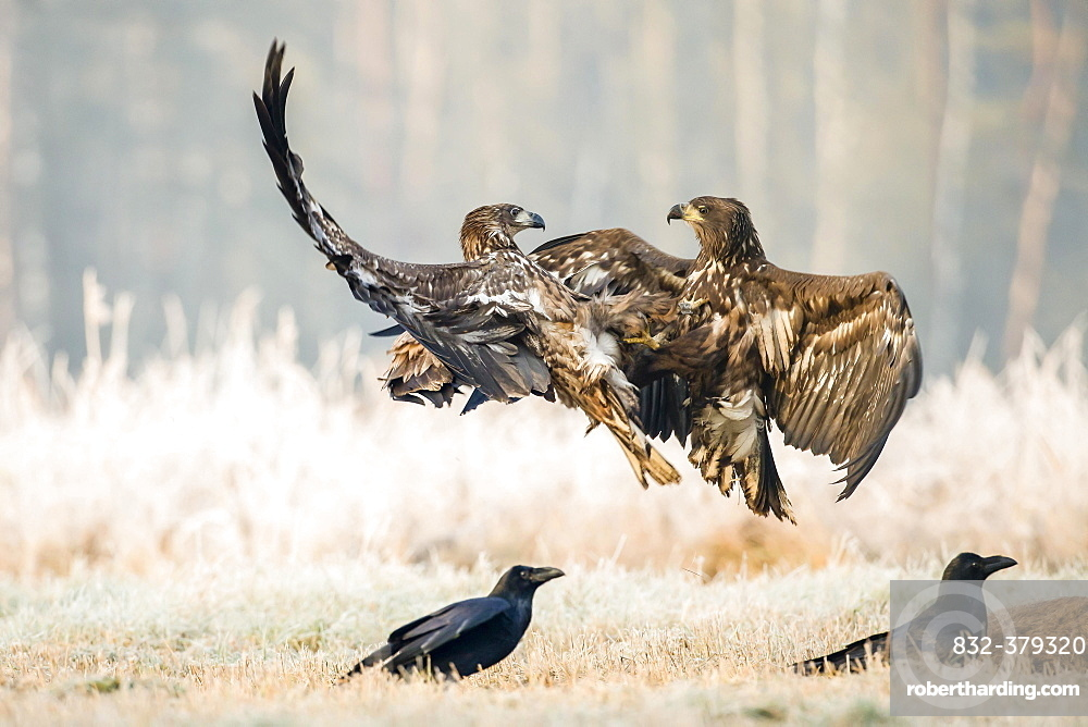 Two young eagle (Haliaeetus albicilla), fighting in the air, with ravens (Corvus corax) at sead deer, Masuria, Poland, Europe