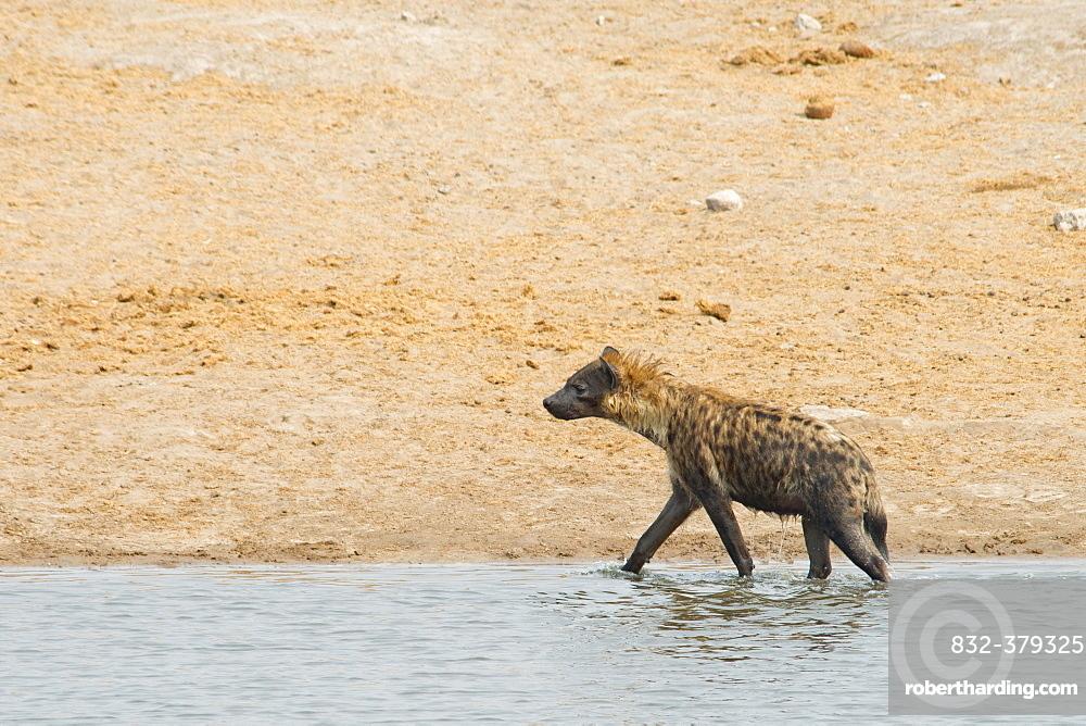 Spotted hyena (Crocuta crocuta) walking in the water, Etosha National Park, Namibia, Africa