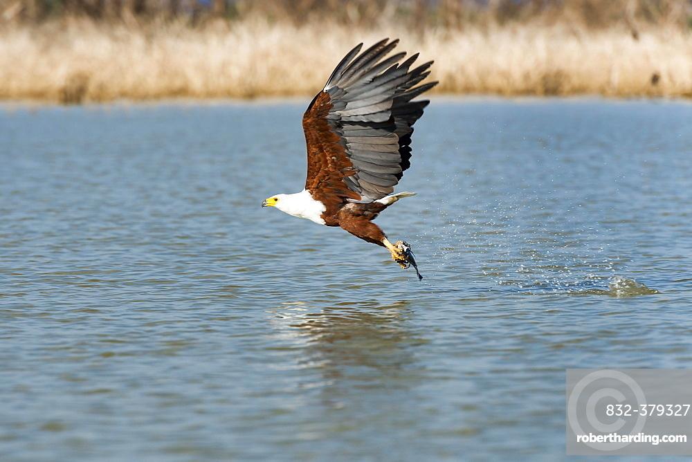 African fish eagle (Haliaeetus vocifer) with prey, Lake Baringo, Kenya, Africa