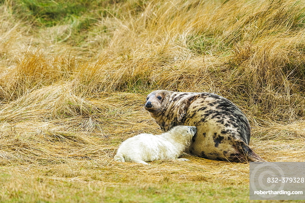 Grey seals (Halichoerus grypus), pup suckling on mother, Heligoland, Schleswig-Holstein, Germany, Europe