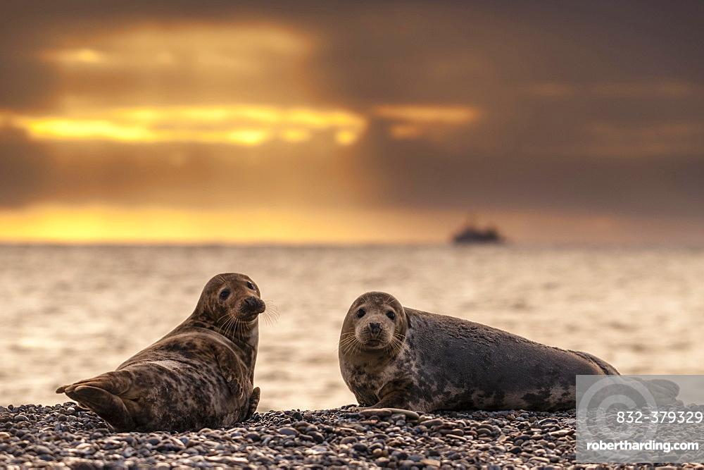 Grey seals (Halichoerus grypus) at sunrise, Heligoland, Schleswig-Holstein, Germany, Europe