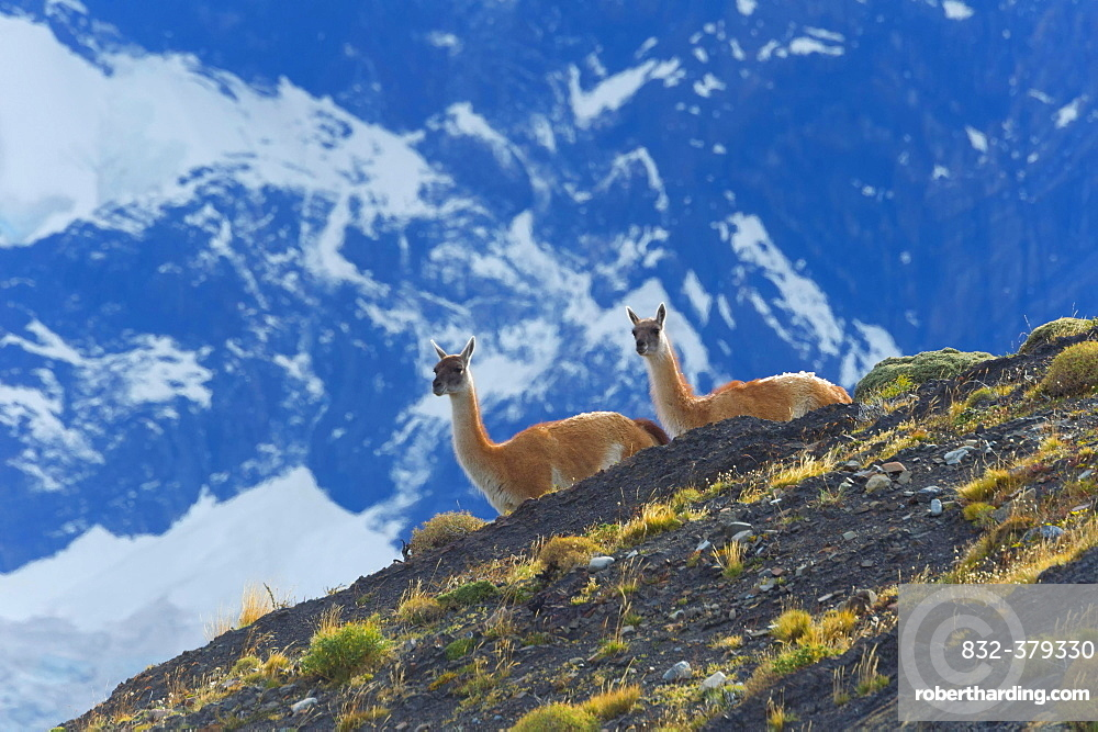 Guanacos (Lama guanicoe) on a ridge, Torres del Paine National Park, Chilean Patagonia, Chile, South America