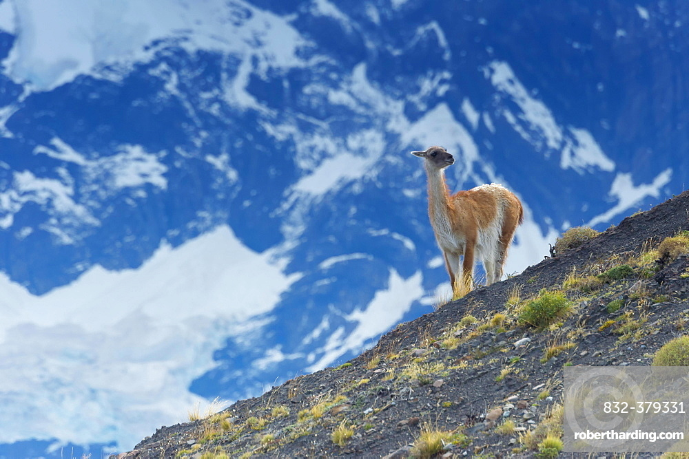 Guanaco (Lama guanicoe) on a ridge, Torres del Paine National Park, Chilean Patagonia, Chile, South America