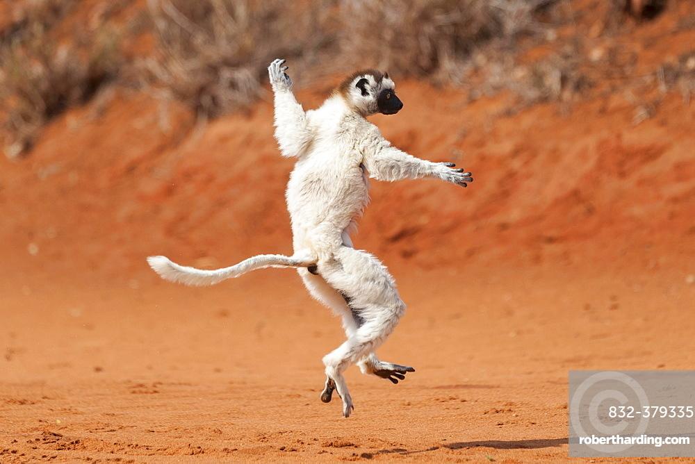 "A """"dancing"""" Verreaux's Sifaka or White Sifaka (Propithecus verreauxi), Madagascar, Africa"