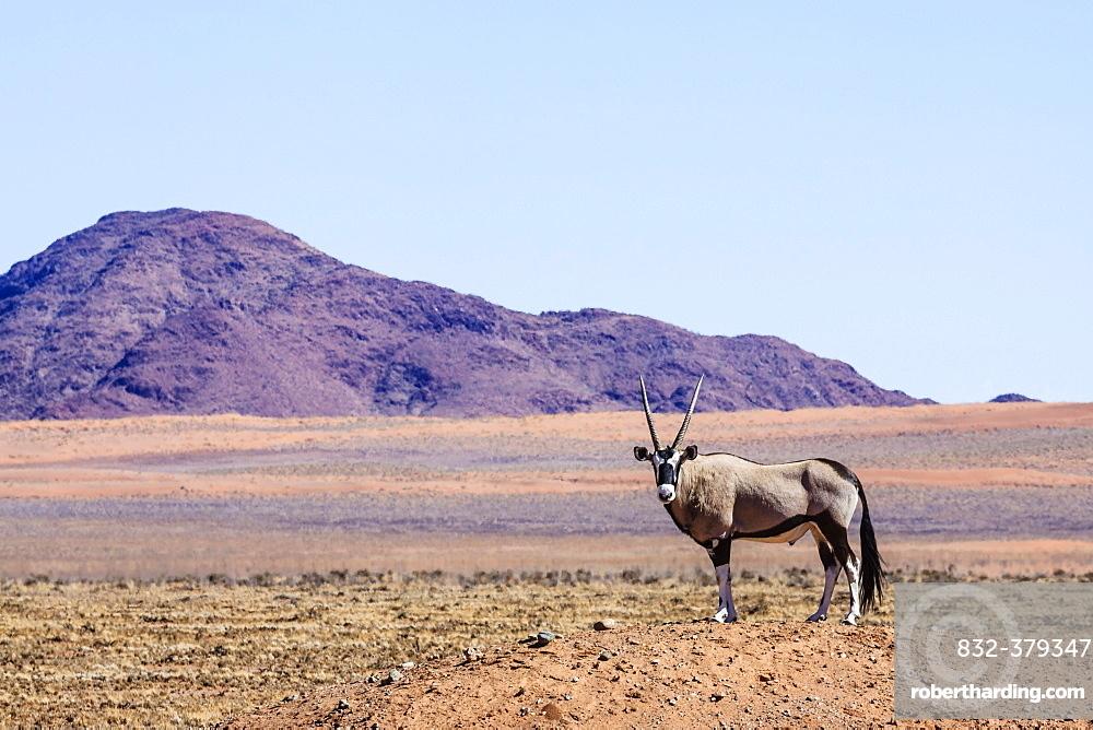 Gemsbock or gemsbuck (Oryx gazella) in Namib Naukluft Park, Namibia, Africa