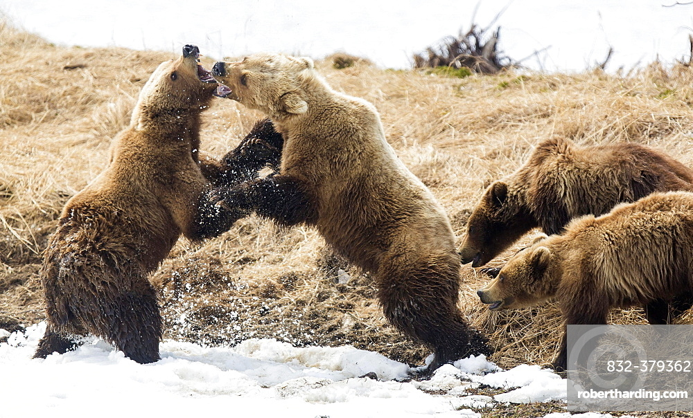 Brown bear (Ursus arctos), two female bears fighting, with young, Kamchatka, Russia, Europe