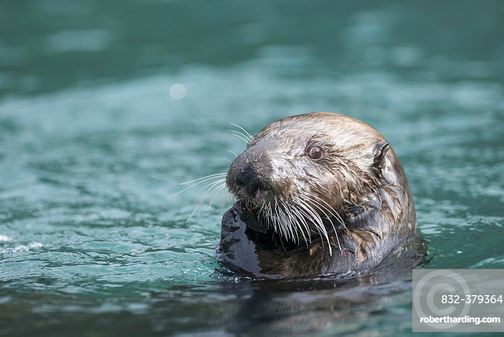 Sea Otter (Enhydra lutris), Kenai Peninsula, Alaska, United States, North America