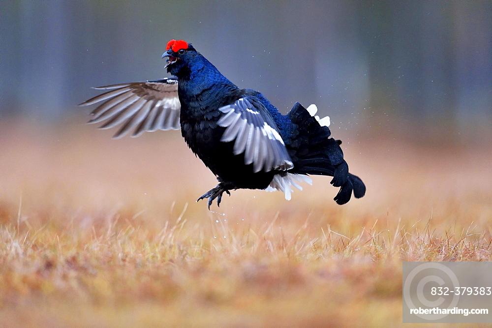 Black grouse, also blackgame or blackcock (Lyrurus tetrix), male taking flight, Hedmark, Norway, Europe