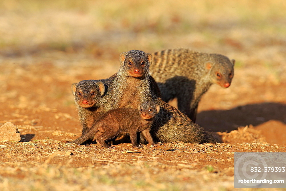 Banded Mongoose (Mungos mungo), mongoose family with pup, at the den, Kruger National Park, South Africa, Africa
