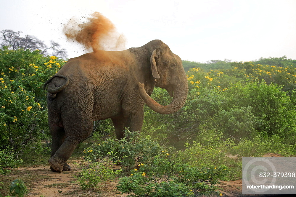 Sri Lankan elephant (Elephas maximus maximus), adult male taking dust bath, Bundala National Park, Sri Lanka, Asia