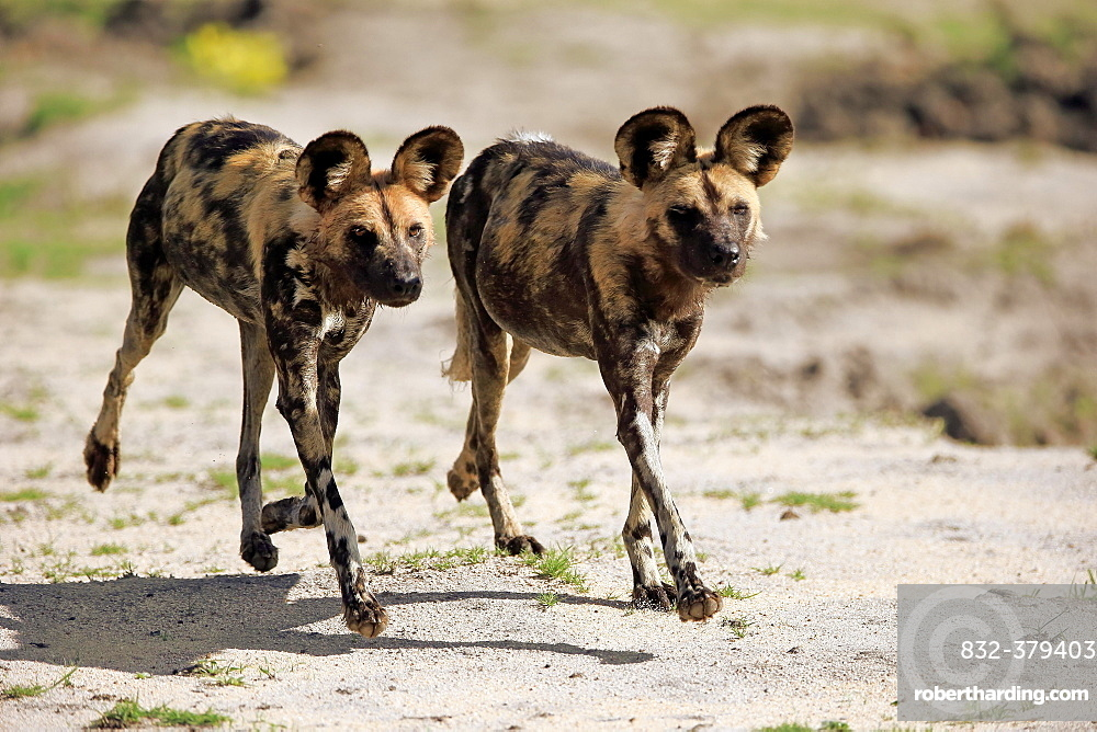 African wild dogs (Lycaon pictus), hunting, running, social behaviour, Sabi Sand Game Reserve, Kruger National Park, South Africa, Africa