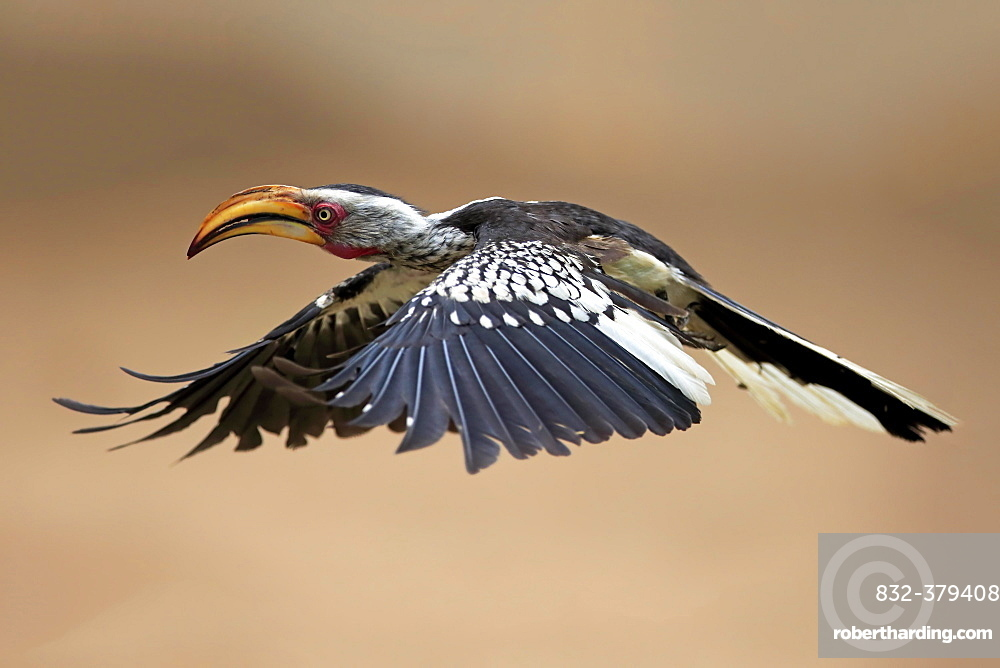 Southern Yellow-billed Hornbill (Tockus leucomelas), adult, flying, Kruger National Park, South Africa, Africa