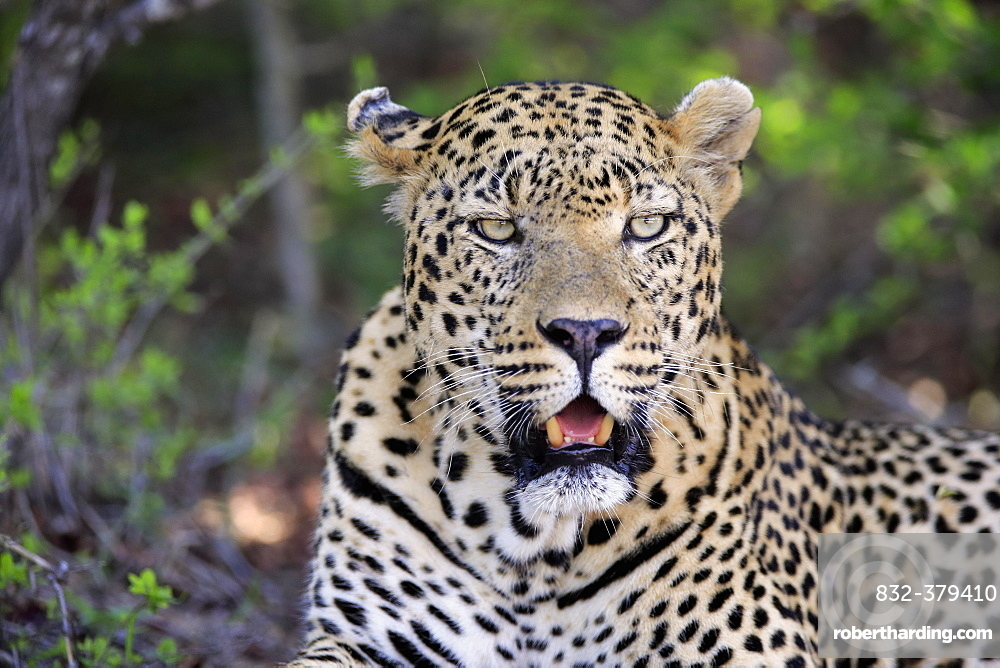 Leopard (Panthera pardus), adult, lying on the ground, attentive, observing, animal portrait, Sabi Sand Game Reserve, Kruger National Park, South Africa, Africa