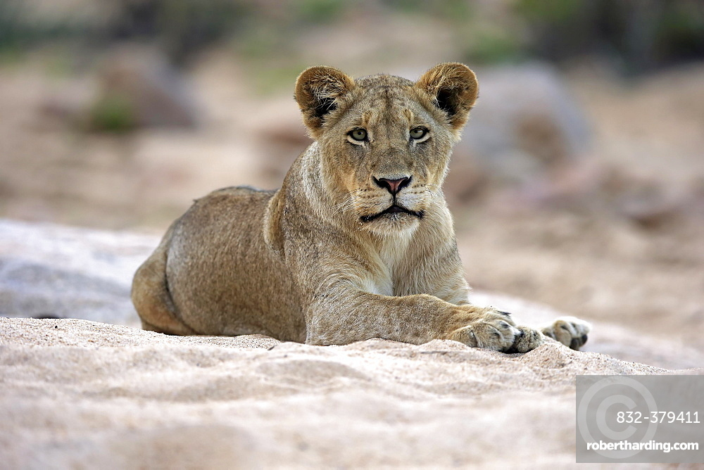 Lion (Panthera leo), adult female, attentive, observing, sitting in dry riverbed, Sabi Sand Game Reserve, Kruger National Park, South Africa, Africa