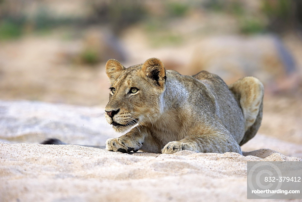 Lion (Panthera leo), adult female, attentive, observing, in dry riverbed, Sabi Sand Game Reserve, Kruger National Park, South Africa, Africa