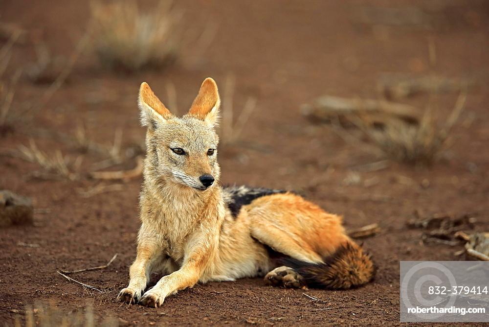 Black-backed Jackal (Canis mesomelas), adult, sits attentively, Kruger National Park, South Africa, Africa