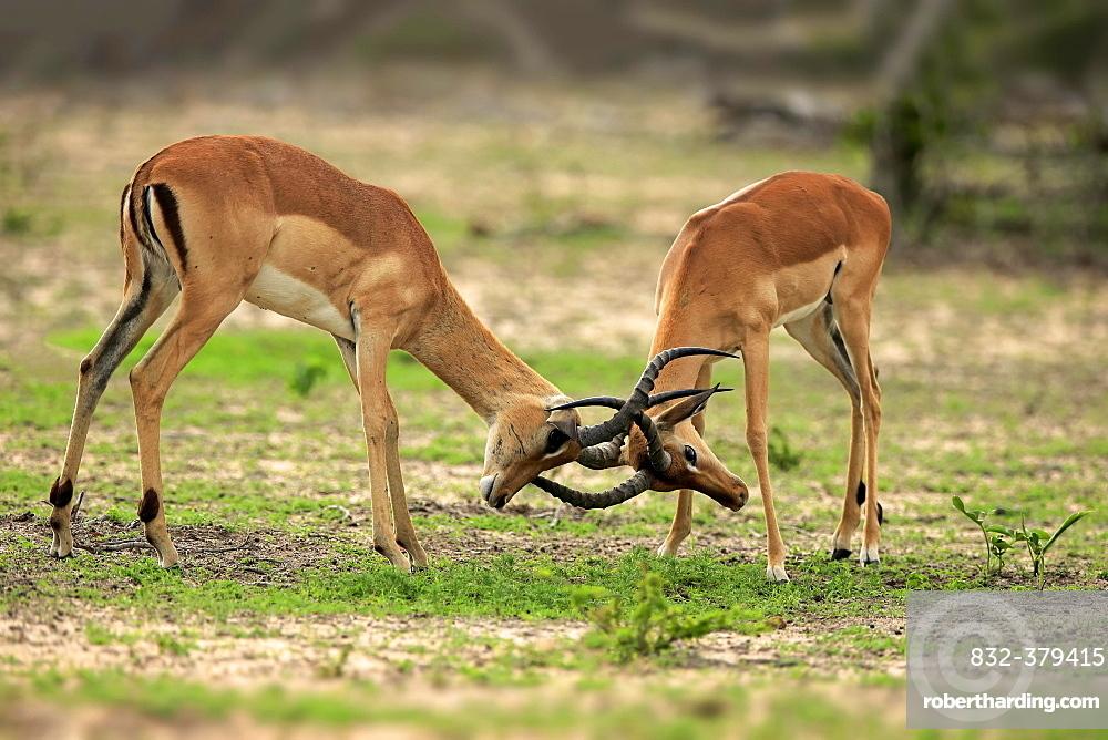 Impalas (Aepyceros melampus), two males fighting, Sabi Sand Game Reserve, Kruger National Park, South Africa, Africa