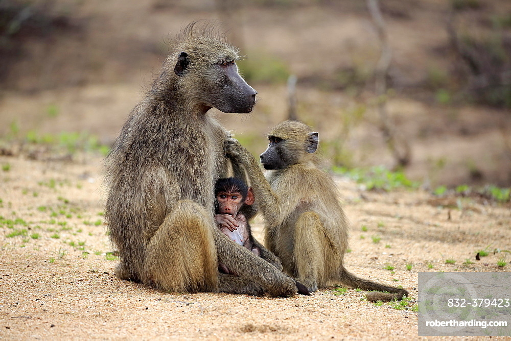 Chacma baboon (Papio ursinus), adult, female with two young animals, grooming, social behaviour, Kruger National Park, South Africa, Africa
