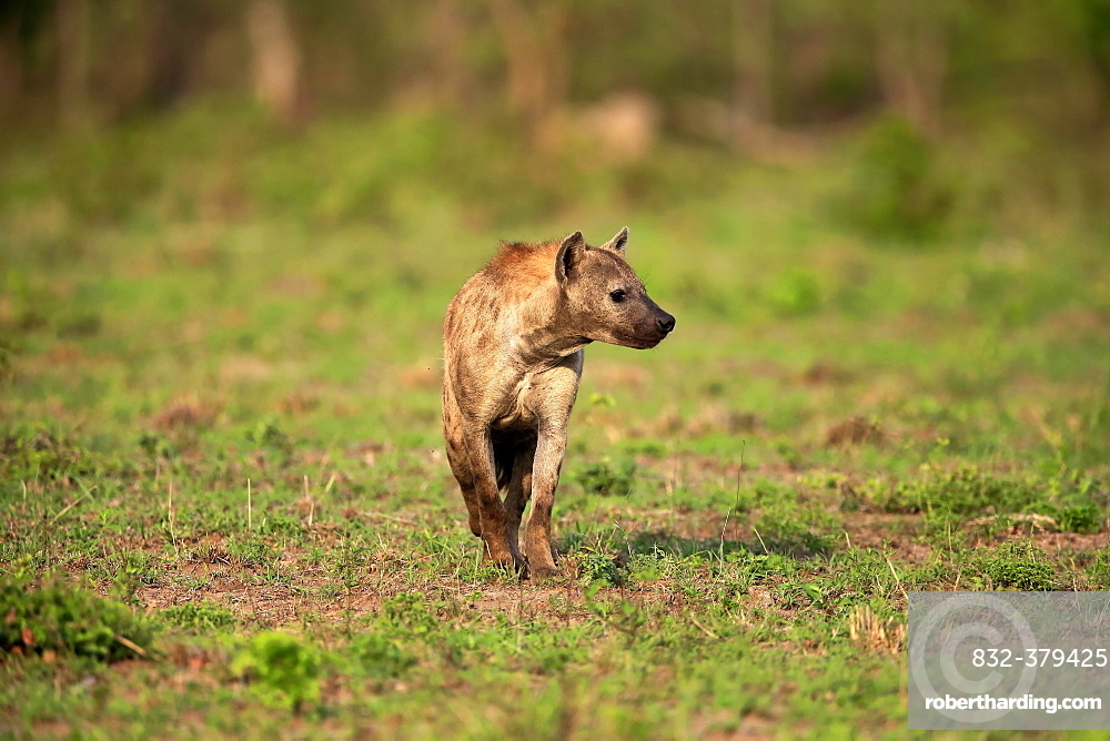 Spotted hyena (Crocuta crocuta), adult, Kruger National Park, South Africa, Africa