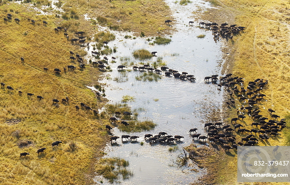 Cape Buffaloes (Syncerus caffer caffer), crossing a marsh area, flying Cattle Egrets (Bubulcus ibis), Okavango Delta, Botswana, Africa